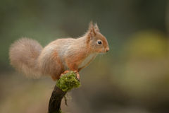 Alert Red Squirrel Royalty Free Stock Photography