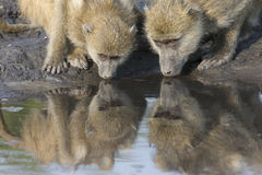 On alert during reflective drink at water hole Royalty Free Stock Image