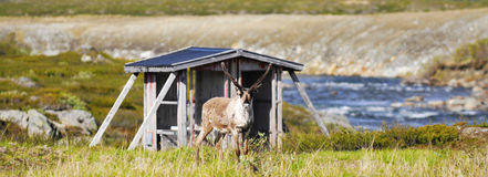 Alert reindeer Royalty Free Stock Photography