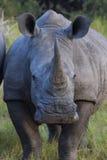 Alert rhino portrait Royalty Free Stock Image