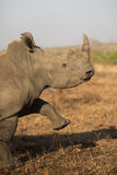 Alert rhino Royalty Free Stock Photos