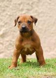 Alert Rhodesian Ridgeback puppy Royalty Free Stock Image