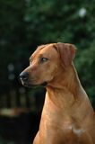 Alert Ridgeback. A beautiful red wheaten Rhodesian Ridgeback dog head portrait with alert expression in the face looking to its left side and watching other dogs Royalty Free Stock Photos