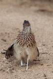 Alert Roadrunner Stock Images