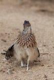 Alert Roadrunner. A roadrunner pauses in the desert to look for prey stock images