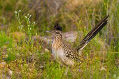 Alert Roadrunner Stands in the Green Desert Brush of Sabino Canyon in Tucson, Arizona. An alert roadrunner stands in the green desert brush of Sabino Canyon on a royalty free stock photos