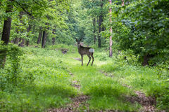 Alert roe on the forest road in spring Royalty Free Stock Images