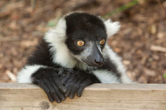 Alert ruffed lemur Stock Photos