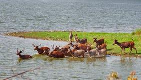 Alert sambhar Deers. Herd of alert sambhar deers getting in pond Stock Images