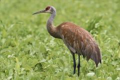 Alert Sandhill Crane, Grus canadensis