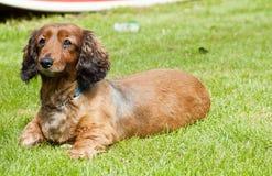 Alert sausage dog. An alert sausage dog on grass royalty free stock photos