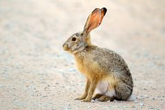 Alert scrub hare Royalty Free Stock Image