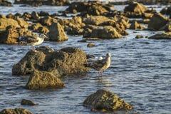 Alert seaguls at the rocky shore Stock Photos