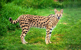 Alert serval cat. An alert serval cat fixes its eyes and ears on a central point stock photo