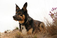 Alert sitting dog Royalty Free Stock Photography