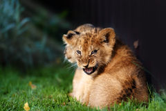 Alert small lion cub with brown fur Stock Photos