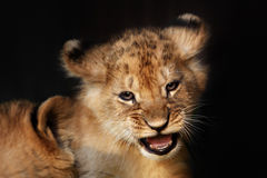 Alert small lion cub close up Royalty Free Stock Image