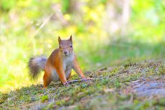 Alert small squirrel on ground Stock Photos