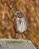 Alert song sparrow. Song sparrow standing alertly on wooden deck Stock Images