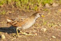 Alert Sora. Cautious Sora Foraging Along Edge of Marsh Stock Photos