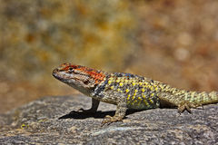 Alert spiny lizard on rock in Tucson, Arizona Royalty Free Stock Photography