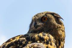 Alert Spotted Eagle Owl Stock Image