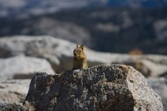 Alert Squirrel. An alert squirrel on top of a  large rock Royalty Free Stock Image