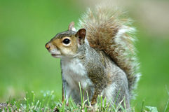 Alert Squirrel Stock Photo