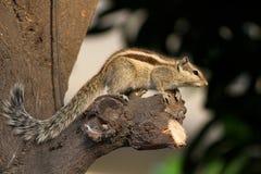 Free Alert Squirrel Stock Photo - 27803980