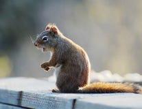 Free Alert Squirrel Stock Photo - 4438380