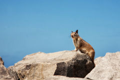 Alert Squirrel Standing on Rocks Royalty Free Stock Photography