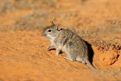 Alert striped mouse in natural habitat Stock Photography