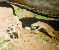 Alert suricate family Royalty Free Stock Photo