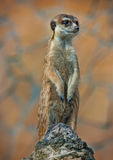 Alert Suricate or Meerkat Suricata standing to lookout Royalty Free Stock Photography