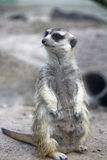 Alert Suricate or Meerkat Stock Photos