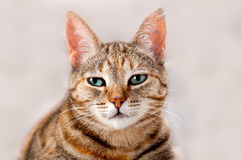 Alert Tabby Cat Stock Photos