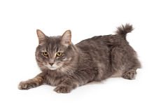 Alert Tabby Cat Laying At An Angle Stock Image