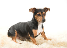Alert Terrier on a Sheepskin Rug Stock Photos