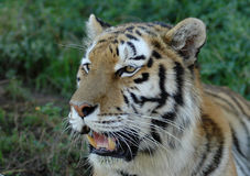 Alert tiger face. Outdoor head portrait of a beautiful tiger staring with alert facial expression Stock Photo