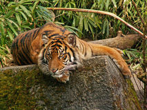 Alert Tiger Royalty Free Stock Photography