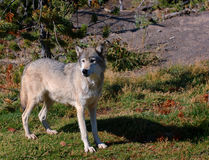 Alert Timber Wolf. Pale Timber Wolf standing on left hand side looking left - shadow to right royalty free stock image