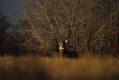 Alert Trophy Whitetailed Buck. A white-tailed buck on the edge of heavy cover Stock Photos