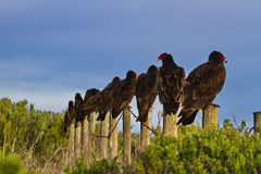 Alert vulture sees something different. Single turkey vulture differentiates by unique turn in a different direction.  Line of birds on fence post.  Location is Royalty Free Stock Photo