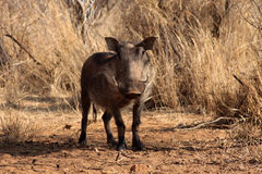 Alert Warthog Male in Clearing. Between Bushveld Trees Stock Photo
