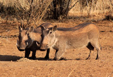 Alert Warthogs Eating Pellets Stock Photo
