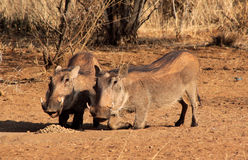 Alert Warthogs Eating Pellets Royalty Free Stock Image