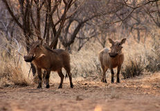 Alert Warthogs Under Bushveld Trees Stock Images