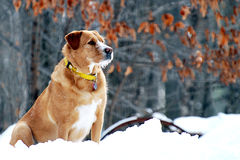 Alert Watchdog in the Snow Stock Photo