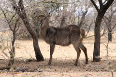 Alert Waterbuck Listening Royalty Free Stock Photo