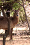 Alert Waterbuck Listening Stock Image